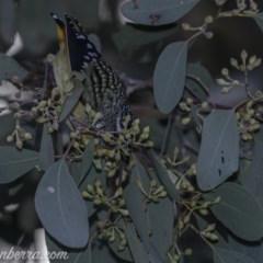 Pardalotus punctatus at Red Hill Nature Reserve - 15 Jul 2019
