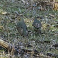 Ptilonorhynchus violaceus (Satin Bowerbird) at Red Hill Nature Reserve - 14 Jul 2019 by BIrdsinCanberra