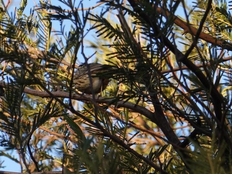 Pyrrholaemus sagittatus at Red Hill Nature Reserve - 18 Jul 2019