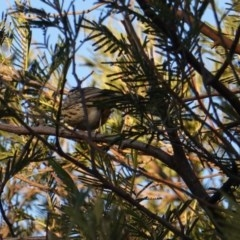 Pyrrholaemus sagittata (Speckled Warbler) at Red Hill Nature Reserve - 18 Jul 2019 by JackyF