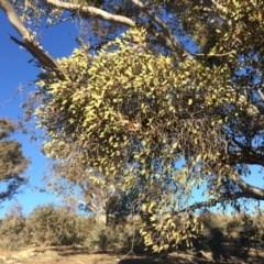 Muellerina eucalyptoides (Creeping Mistletoe) at Gungaderra Grasslands - 16 Jul 2019 by mcosgrove