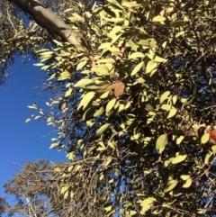 Muellerina eucalyptoides (Creeping Mistletoe) at Goorooyarroo - 16 Jul 2019 by mcosgrove