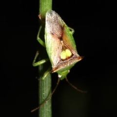 Sastragala versicolor (Shield bug) at Rosedale, NSW - 6 Jul 2019 by jbromilow50