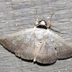 Pantydia sparsa (Noctuid Moth) at Rosedale, NSW - 29 Mar 2019 by jbromilow50