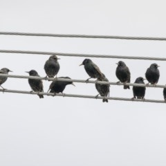 Sturnus vulgaris (Common Starling) at Higgins, ACT - 4 Jul 2019 by Alison Milton