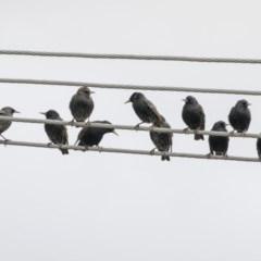 Sturnus vulgaris (Common Starling) at Higgins, ACT - 4 Jul 2019 by Alison Milton