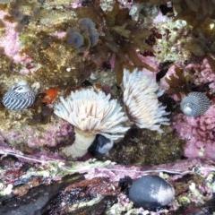 Sabellastarte australiensis (Feather duster worm) at Batemans Marine Park - 18 Jul 2019 by HelenR