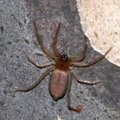 Hemicloea sp. (TBC) at Rosedale, NSW - 8 Jul 2019 by jbromilow50