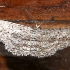 Phelotis cognata (Long-fringed Bark Moth) at Rosedale, NSW - 29 Mar 2019 by jbromilow50