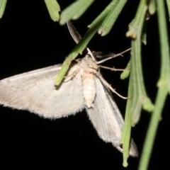 Phelotis cognata (Long-fringed Bark Moth) at Guerilla Bay, NSW - 11 Jul 2019 by jbromilow50