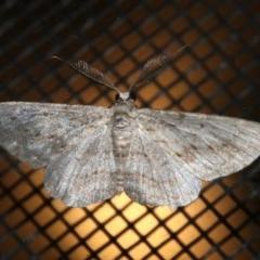 Phelotis cognata (Long-fringed Bark Moth) at Rosedale, NSW - 25 Feb 2019 by jbromilow50
