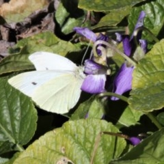 Pieris rapae (Cabbage White) at Kambah, ACT - 21 Jul 2019 by HarveyPerkins