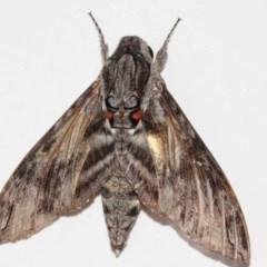 Agrius convolvuli (Convolvulus Hawk Moth) at Evatt, ACT - 14 Nov 2017 by TimL