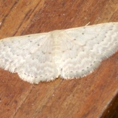 Idaea philocosma (Flecked Wave) at Rosedale, NSW - 29 Mar 2019 by jbromilow50
