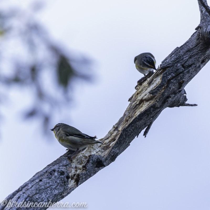 Pardalotus striatus at Red Hill Nature Reserve - 15 Jul 2019