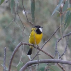 Pachycephala pectoralis (Golden Whistler) at Red Hill Nature Reserve - 21 Jul 2019 by JackyF