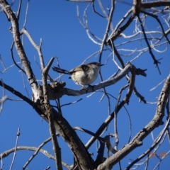 Malurus cyaneus at Red Hill Nature Reserve - 21 Jul 2019