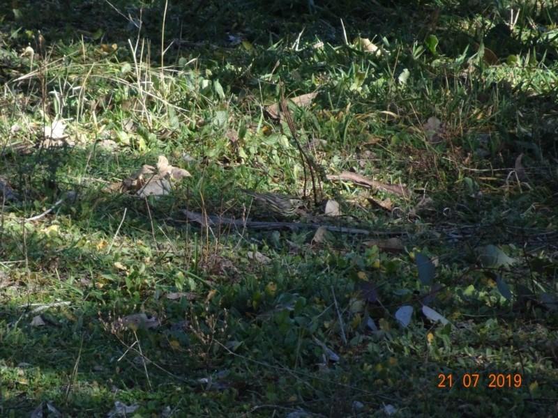 Pyrrholaemus sagittatus at Red Hill Nature Reserve - 21 Jul 2019