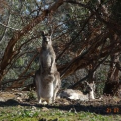 Macropus giganteus (Eastern Grey Kangaroo) at Red Hill Nature Reserve - 21 Jul 2019 by TomT