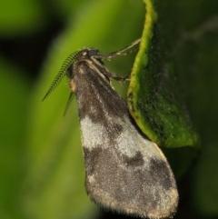 Anestia (genus) (A tiger moth) at Evatt, ACT - 16 Nov 2017 by TimL
