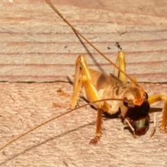GRYLLACRIDIDAE (Unidentified Raspy Cricket) at Rosedale, NSW - 12 Jul 2019 by jbromilow50