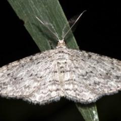 Phelotis cognata (Long-fringed Bark Moth) at Rosedale, NSW - 9 Jul 2019 by jbromilow50
