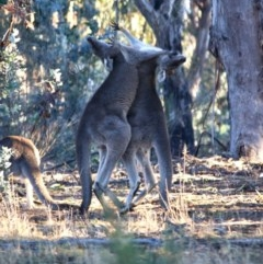 Macropus giganteus (Eastern Grey Kangaroo) at Hughes Grassy Woodland - 22 Jul 2019 by LisaH