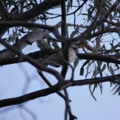 Pachycephala pectoralis at Red Hill Nature Reserve - 23 Jul 2019
