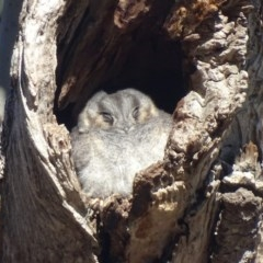 Aegotheles cristatus (Australian Owlet-nightjar) at Red Hill Nature Reserve - 19 Jul 2019 by roymcd