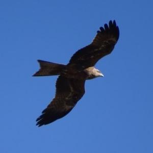 Milvus migrans at Jerrabomberra Wetlands - 22 Jul 2019