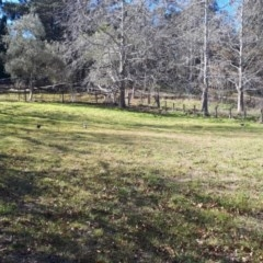 Gymnorhina tibicen (Australian Magpie) at Moss Vale, NSW - 23 Jul 2019 by KarenG