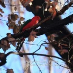 Alisterus scapularis (Australian King-parrot) at Ulladulla Wildflower Reserve - 19 Jul 2019 by CharlesDove