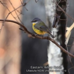 Eopsaltria australis (Eastern Yellow Robin) at Ulladulla Wildflower Reserve - 19 Jul 2019 by Charles Dove