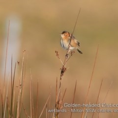 Cisticola exilis (Golden-headed Cisticola) at Milton, NSW - 16 Jul 2019 by Charles Dove