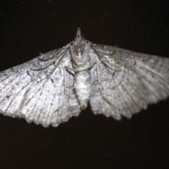 Geometridae (family) (Unidentified geometer or looper moths) at Rosedale, NSW - 6 Jul 2019 by jbromilow50