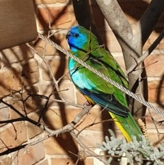 Neophema splendida (Scarlet-chested Parrot) at Hughes, ACT - 14 Jul 2019 by ruthkerruish