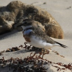 Charadrius bicinctus (Double-banded Plover) at Wairo Beach and Dolphin Point - 24 Jul 2019 by CBrandis