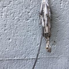 Metura elongatus (Saunders' Case Moth) at Doonan, QLD - 24 Jul 2019 by JBudgie