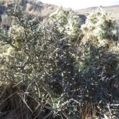 Melicytus angustifolius subsp. divaricatus (Divaricate Tree Violet) at Rock Flat, NSW - 23 Jul 2019 by RobParnell