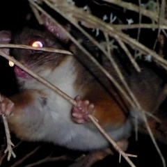 Pseudocheirus peregrinus (Common Ringtail Possum) at Brogo, NSW - 24 Jul 2019 by MaxCampbell
