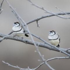 Taeniopygia bichenovii (Double-barred Finch) at Michelago, NSW - 19 Jul 2019 by Illilanga