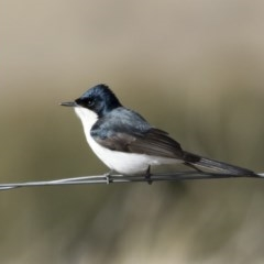 Myiagra inquieta (Restless Flycatcher) at Illilanga & Baroona - 1 Jul 2019 by Illilanga