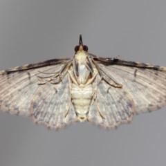 Chloroclystis filata (Filata Moth, Australian Pug Moth) at Evatt, ACT - 3 Dec 2017 by TimL