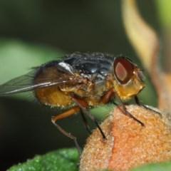 Calliphora sp. (genus) (Unidentified blowfly) at Evatt, ACT - 30 Nov 2017 by TimL