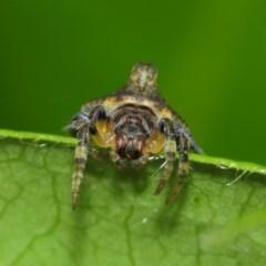 Dolophones turrigera (Turret spider) at Evatt, ACT - 30 Nov 2017 by TimL