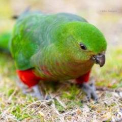 Alisterus scapularis (Australian King-parrot) at Bald Hills, NSW - 20 Jul 2019 by JulesPhotographer