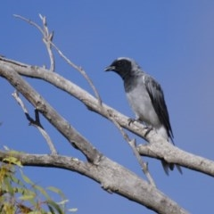 Coracina novaehollandiae (Black-faced Cuckooshrike) at Illilanga & Baroona - 10 Feb 2014 by Illilanga