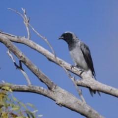Coracina novaehollandiae (Black-faced Cuckooshrike) at Illilanga & Baroona - 10 Feb 2014 by Illilanga