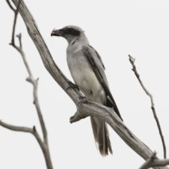Coracina novaehollandiae (Black-faced Cuckooshrike) at Illilanga & Baroona - 16 Dec 2018 by Illilanga