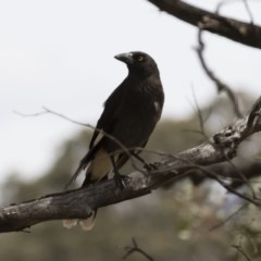 Strepera graculina (Pied Currawong) at Illilanga & Baroona - 5 Nov 2017 by Illilanga